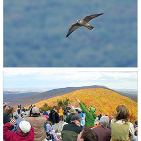 Peregrine flying above Hawk Mountain