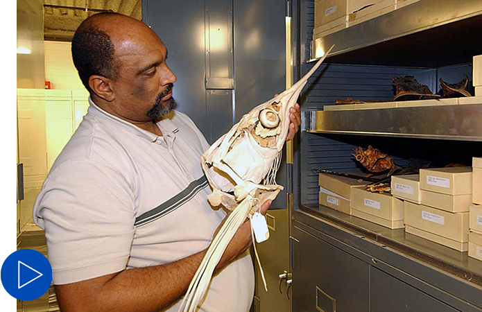 Radford Arrindell stands near the shelving that houses the ichthyology collection and holds a fish skeleton specimen.