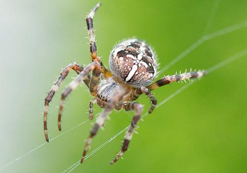 An orb weaver spider crawls along its web.