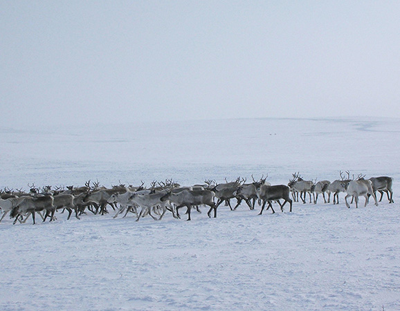 A herd of reindeer, including descendants from the herd of conservation biologist Mary Blair's great-great-grandfather, travel across the tundra.