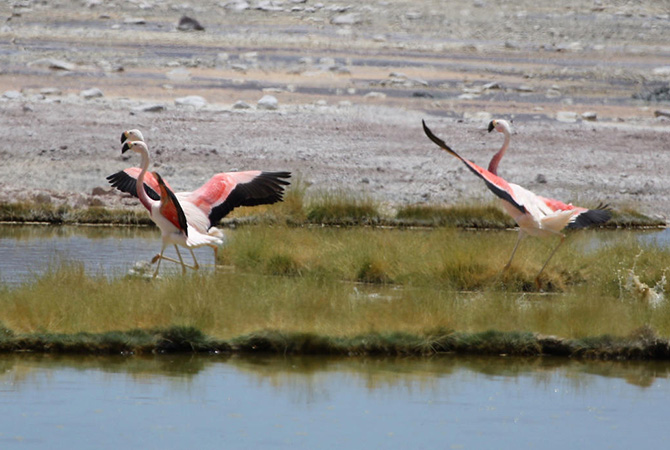 Three Andean flamingoes spread their wings as they prepare to take off from a salt marsh.