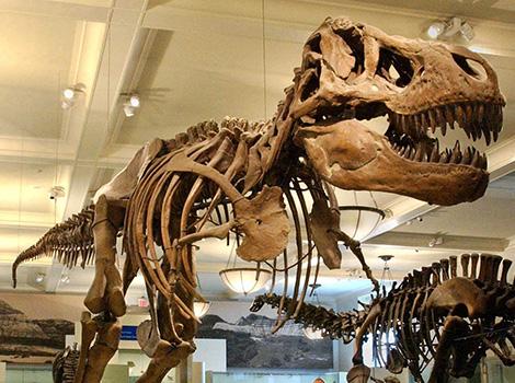 T. rex Skeleton in Hall of Saurischian Dinosaurs.