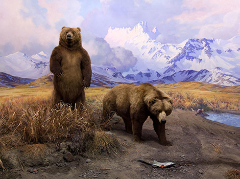 Museum diorama depicts two Alaska Brown Bears in front of a painted mountain backdrop.