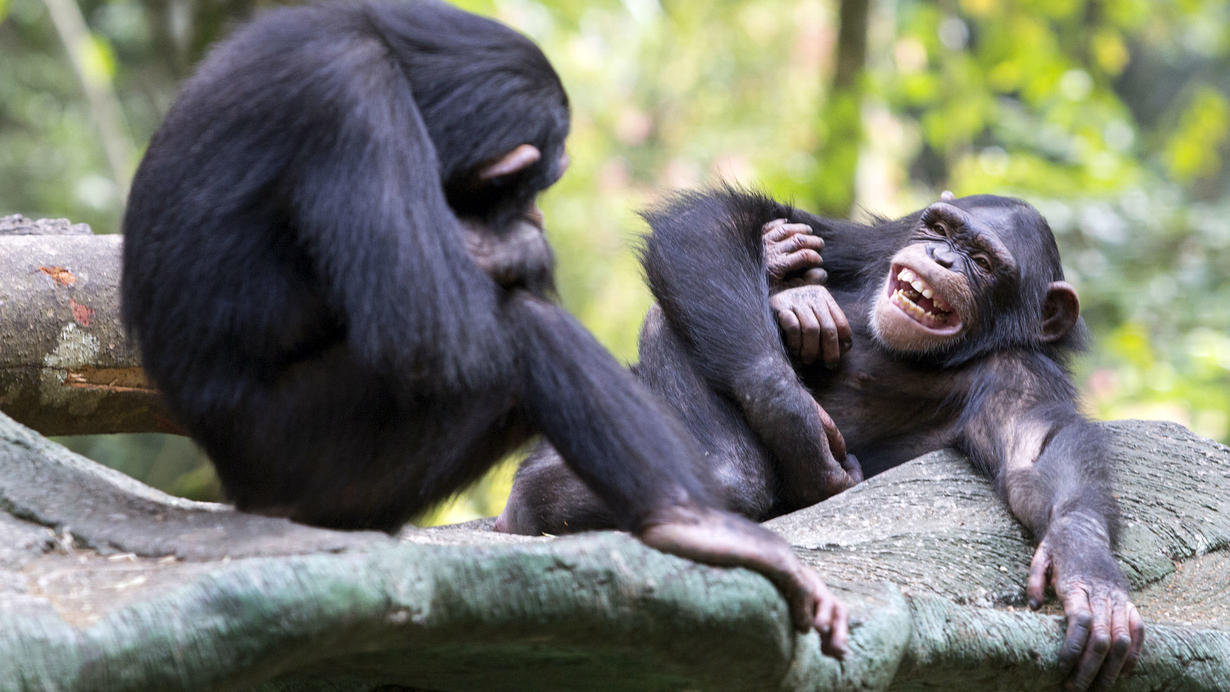 Two chimpanzees play on a tree branch.