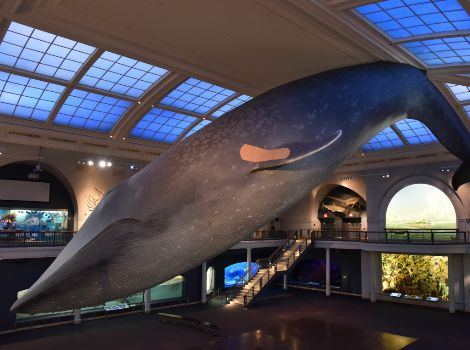 The blue whale model in the Millstein Hall of Ocean Life with a vaccination bandage