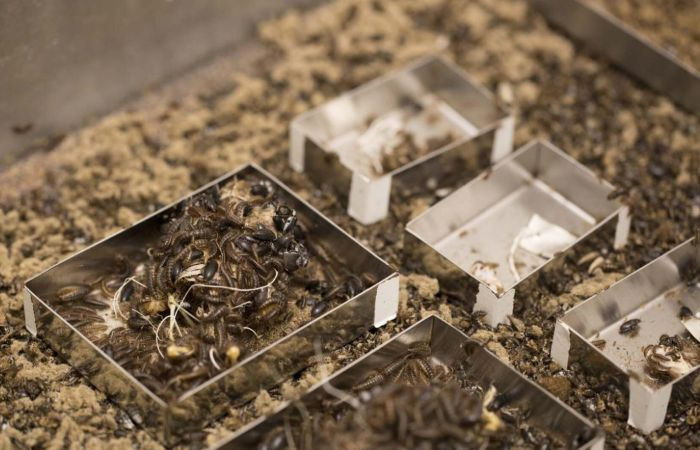 A colony of Dermestid beetles crawl around small metal trays containing specimens.