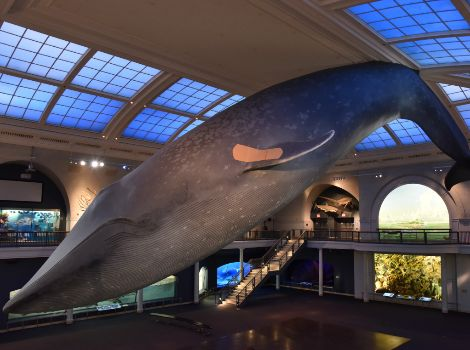 Vaccination privacy booths set up below the Blue Whale in the Milstein Hall of Ocean Life.