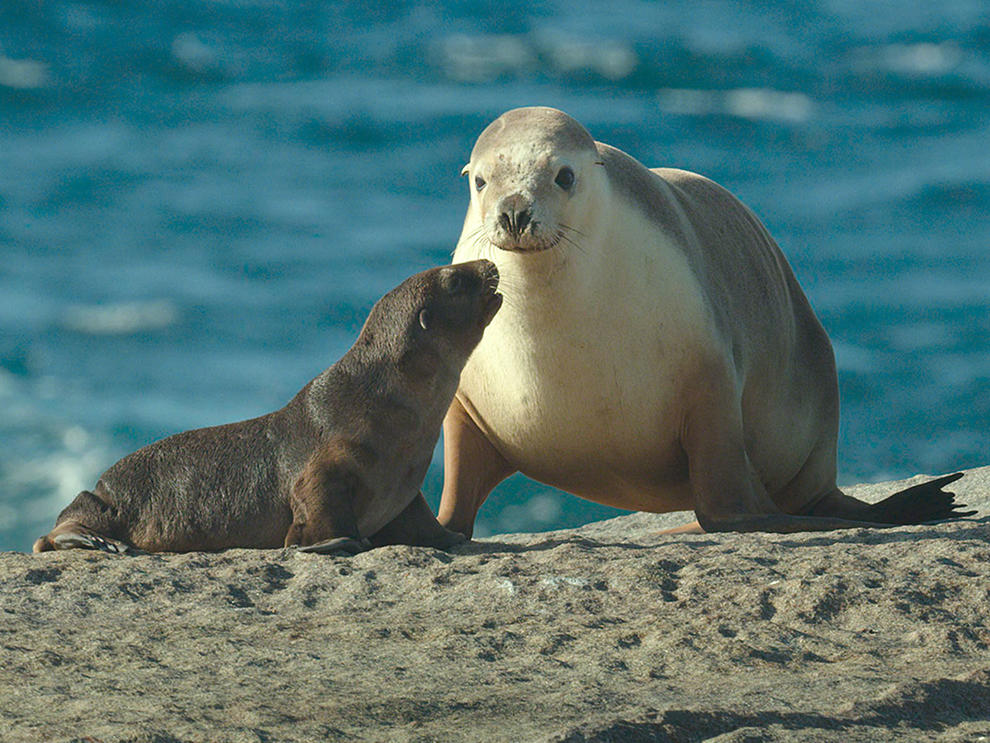 Adult sea lion and pup.