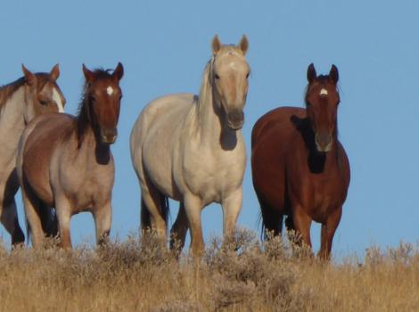 Five wild horses trot through a field.