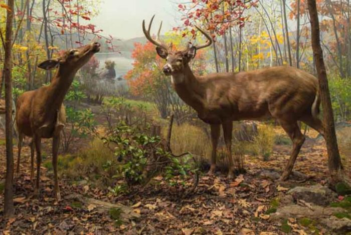 White-Tailed Deer diorama